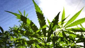 Marihuana demnächst legal?