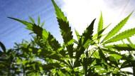 Cannabis-Plantage.
