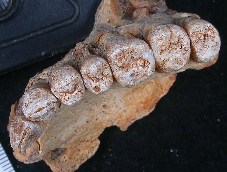 Das undatierte Foto zeigt einen Teil eines Oberkiefers und acht Zähne, die von einem internationalen Forscherteam auf ein Alter von etwa 180 000 Jahre bestimmt wurde.