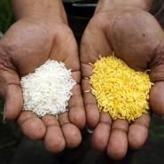 """Reis und Genreis, beides gezüchtet. Der Vitamin-A-reiche """"Golden Rice"""" (r.) wird von Ökobewegten oft als Trojanisches Pferd der Agrarlobby gebrandmarkt."""