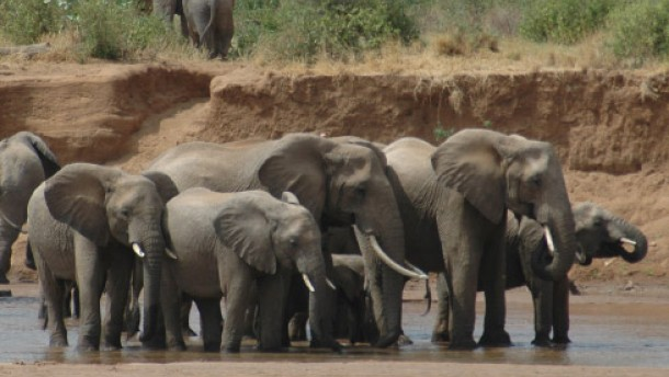 Wie Elefanten den Baumbestand bewahren