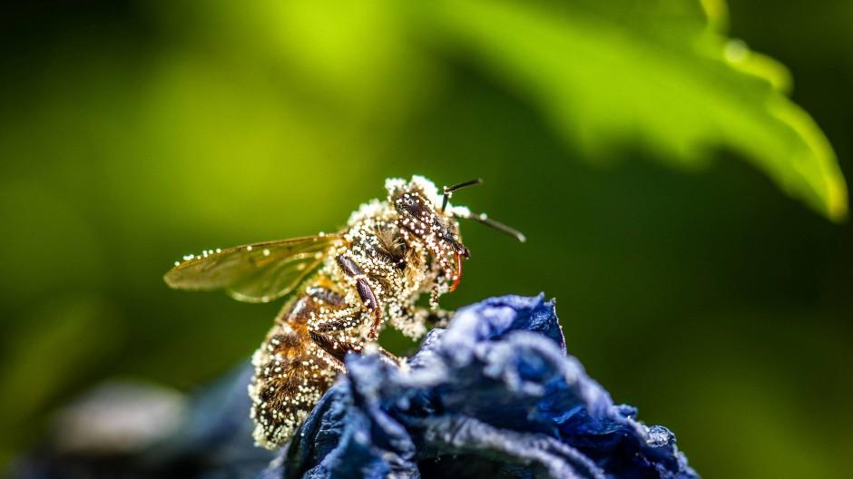 Bestäuberarbeiteralltag: Eine Biene, bedeckt mit Hibiskus-Blütenpollen.