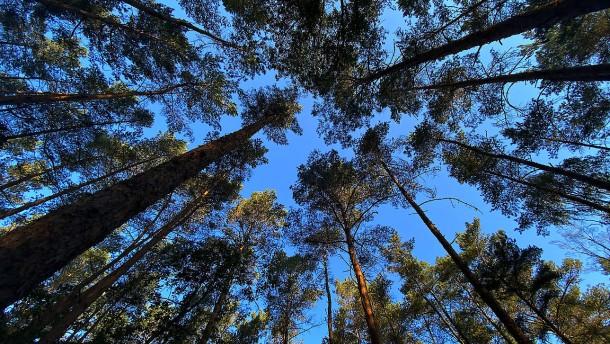 Wie Nadelbäume die Flora bereichern