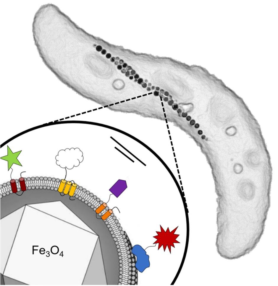 Detailansicht des magnetischen Bakteriums Magnetospyrillum gryphiswaldense mit verketteten Magnetosomen. Unten links: Einzelnes Magnetosom mit Eisenoxid-Kern und umgebender Membran. Auf spezifischen Proteinen der Membran werden genetisch verschiedene funktionelle Gruppen aus unterschiedlichen Fremdorganismen installiert