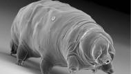 Nur 0,2 Millimeter groß ist dieses Bärtierchen (Milnesium tardigradum), das jetzt einen Artenzuwachs bekommen hat.