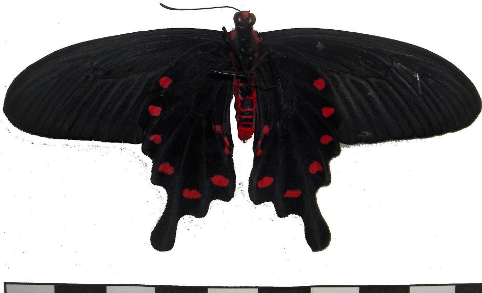 Schwarzer Schmetterling Pachliopta aristolochiae
