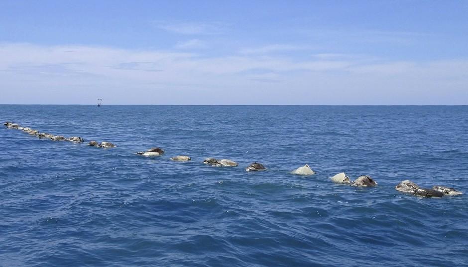 Tote Meeresschildkröten schwimmen auf dem Meer bei Puerto Escondido. Das Amt für Umweltschutz sagte, dass etwa 300 Meeresschildkröten an der südlichen Pazifikküste Mexikos gestorben sind, nachdem sie in einem verlassenen illegalen Fischernetz gefangen waren