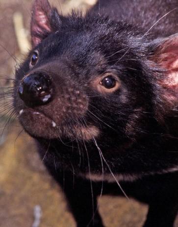 Bild zu: Tasmanische Teufel: Wenn der Krebs sich wie die ...