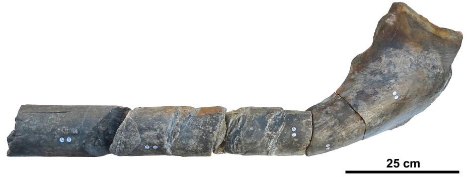 Dieser ein Meter lange  Kieferknochen eines riesigen Ichthyosauriers wurde vor zwei Jahren in Südengland gefunden.