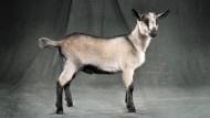 """Die """"Miniature Alpine"""" wurde für den amerikanischen Markt gezüchtet, dort wünschte man sich die Ziege etwas kleiner."""