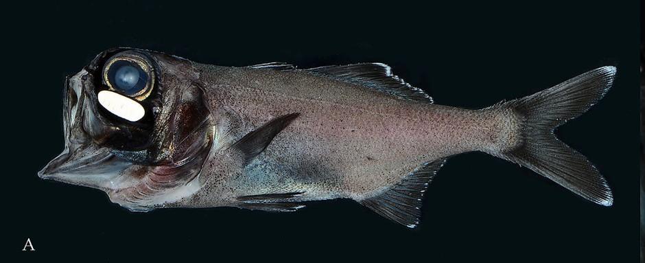 Rund 35 Zentimeter lang wird ein ausgewachsener Laternenfisch. Zu erkennen ist das Leuchtorgan unter dem Auge.