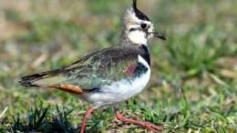 Mehr als die Hälfte der Feldvögel in Europa ist verschwunden