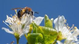 Wie wir Bienen beim Bestäuben helfen können