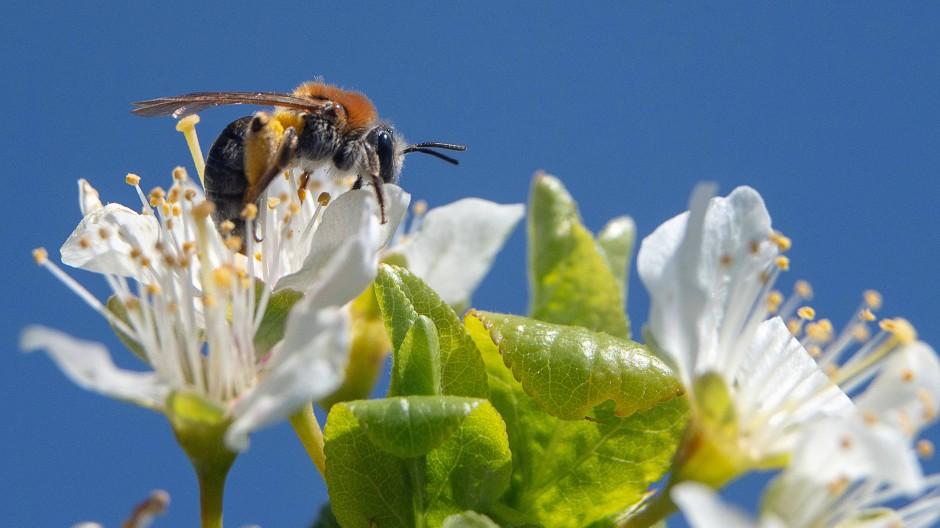 Eine Biene auf der Blüte eines Obstbaumes