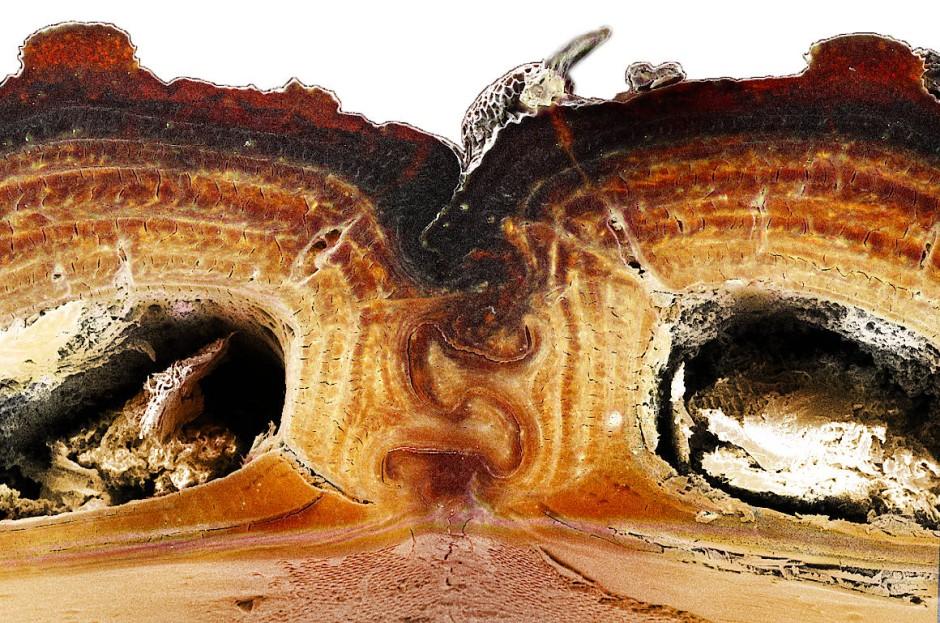 Querschnitt durch das Exoskelett des diabolischen eisengepanzerten Käfers. Deutlich zu sehen ist die Nahtstelle, an der die beiden Deckflügel aneinander stoßen und wie Puzzlesteine verhakt sind.