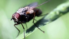 Wissenswert: Warum lassen sich Stubenfliegen so schwer fangen?