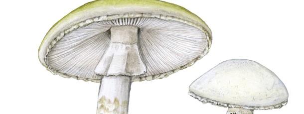 Der Grüne Knollenblätterpilz (Amanita phalloides, links) und der Kegelhütige Knollenblätterpilz (A. virosa, rechts) sind echte Killer. Schon 20 bis 50 Gramm Frischpilz enthalten die für einen Erwachsenen tödliche Dosis des Giftes Amanitin. Die Gefahr droht vor allem, wenn sie mit essbaren Pilzen wie zum Beispiel dem Schaf-Champignon (Agaricus arvensis) verwechselt werden.