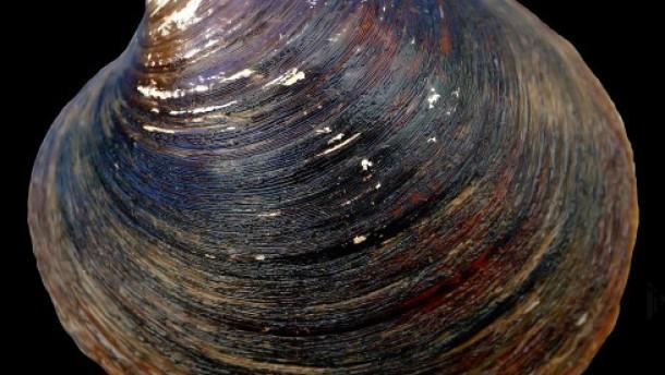 Die älteste lebende Muschel der Welt