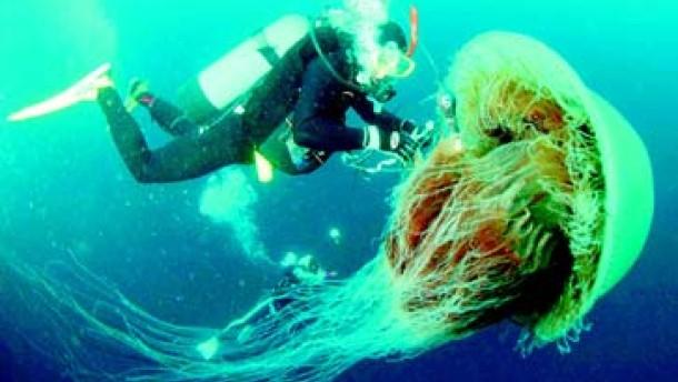 Japaner ringen mit Riesenquallen: Schwere Zeiten für die Fischerei