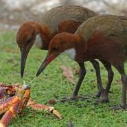 Die Aldabra-Weißkehlralle kommt auch gut als Laufvogel zurecht.
