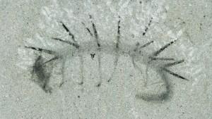 Der stachelige Urahn der Insekten