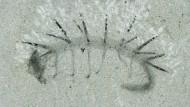 Der stachelige Urahn der Insekten: Das Urtierchen Hallucigenia sparsa (hier als Versteinerung) war 15 Millimeter lang.