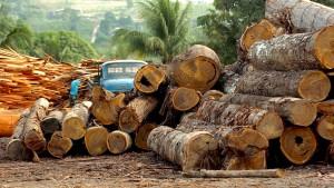 Grüne Weltbürger nisten in jungen Bäumen