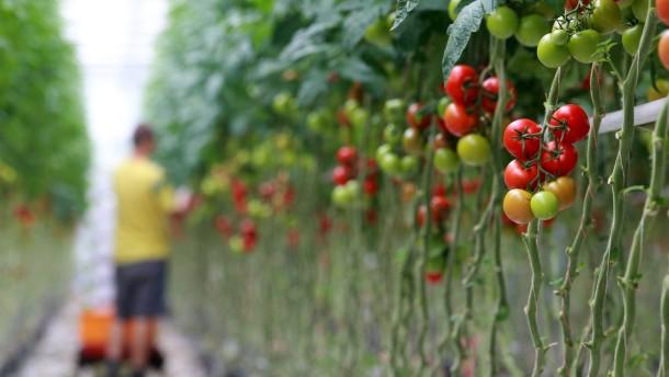 Tomaten warnen sich gegenseitig vor Feinden