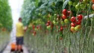 Warnen sich gegenseitig: Tomatenpflanzen