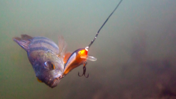 Schreien Fische stumm?