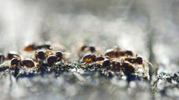 Ameisen mit Sinn für Wohnkomfort