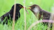 Jungvogelfütterung im Vorgarten.