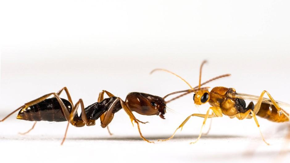Zielgerichtetes Gewusel zwischen Ort A und Ort B: eine Arbeiterinnen-Ameise mit einem männlichen Artgenossen (rechts).