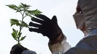 Riskantes Grün? Forscher mit Feinstaubmaske untersucht eine Pollenquelle.