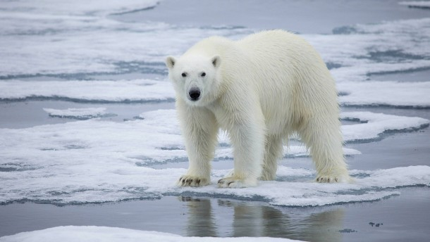 Eisbären könnten bis 2100 aussterben