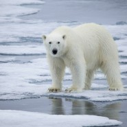 Der Klimawandel macht Eisbären zunehmend zu schaffen.
