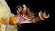 Australischer Kalkröhrenwurm der Art Hydroides lirs
