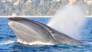 Die ersten Klima-Opfer sind Schmetterlinge und Blauwale