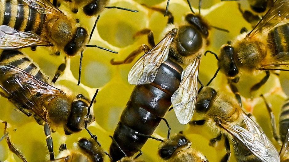 Bienen mit ihrer Königin