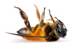 Glyphosat und die Immunschwäche der Bienen