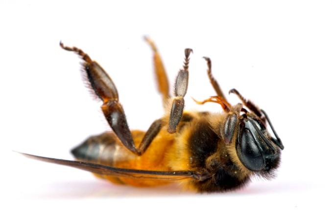Honigbienen werden nicht nur als Bestäuber gebraucht.