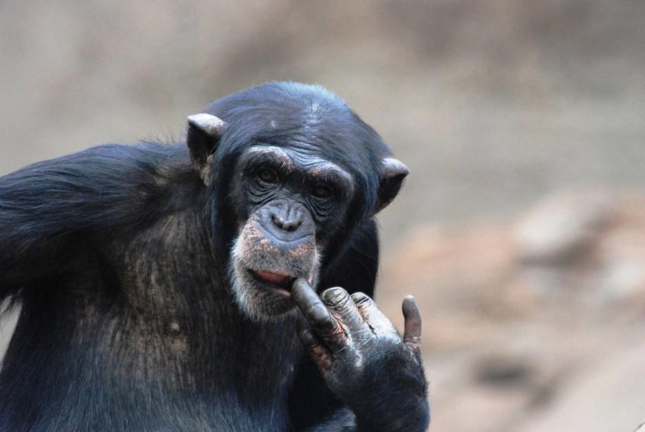 Schimpanse Lome im Leipziger Zoo.