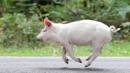 Eine Schweinerei mit Toten