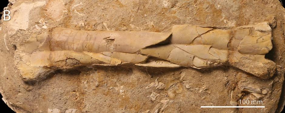 Ein etwa 40 Zentimeter langer Ellenknochen eines  Pterosauriers
