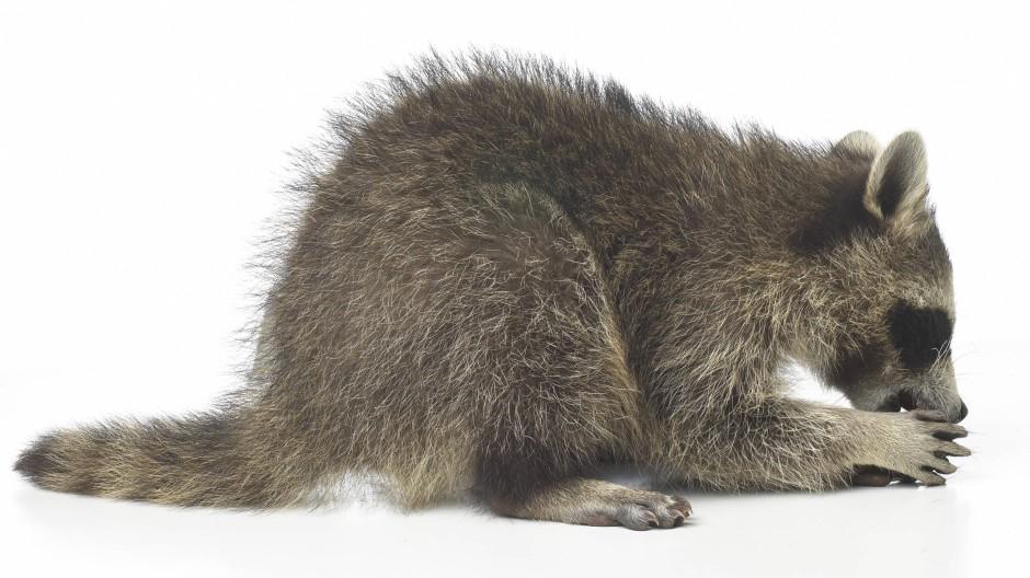 """""""Der mit den Händen schrubbt"""" nannten Powhatan-Indianer in der britischen Kolonie Virginia den Waschbären. Ihr heute ausgestorbenes Idiom gehört zu den für ihre einmalig komplexe Grammatik  berühmten Algonkin-Sprachen. Aus dem Powhatan-Ausdruck wurde die englische Bezeichnung """"Raccoon""""."""
