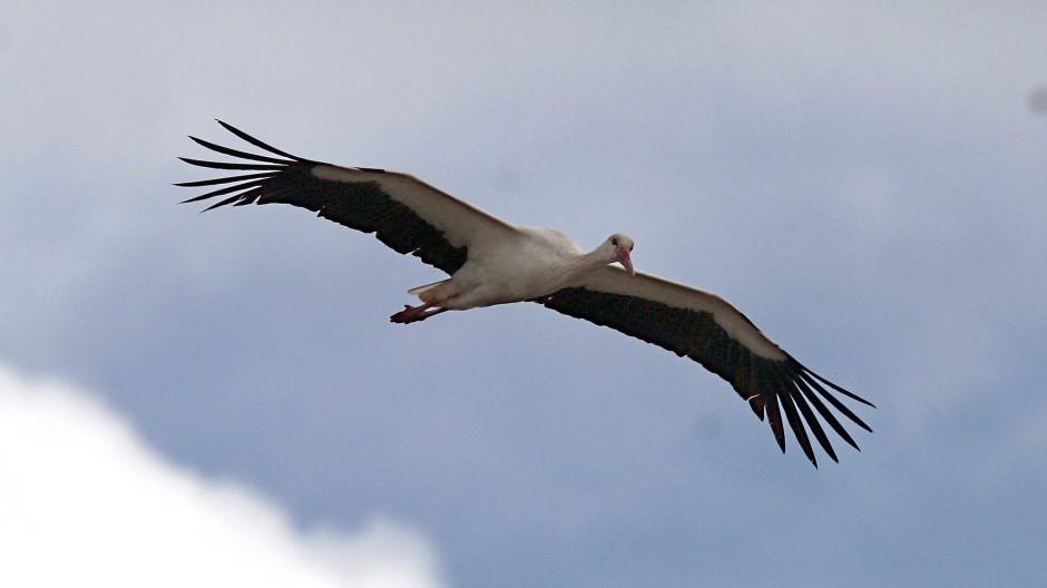 Ein Storch in Mittelfranken: Die Vögel ziehen oft nur noch bis Spanien oder Marokko und überqueren die Sahara nicht mehr.