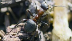 Hygiene im Ameisennest