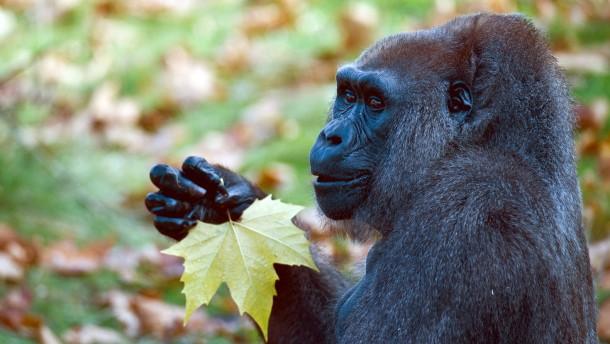 Spürhunde helfen beim Schutz bedrohter Gorillas