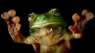 Zeigt her eure Füße: Der australische grüne Baumfrosch hat die richtigen Haftpolster.