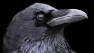 Ein menschlicher Vogel: Raben können ihr soziales Umfeld sehr genau einschätzen.